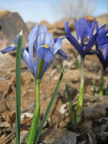 Wildflower bulbs 006