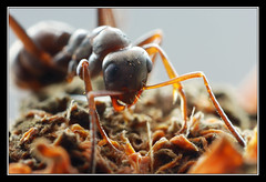 AntZ (matt :-)) Tags: macro insect big ant tube ring micro z extension reverse inverted mattia inverse insetto hormiga formica antz formiga  fourmi  50mmf14d kenko 105mmf28dmicro formicidae    formiko reverted  specanimal nikond80  consonni mattiaconsonni formca