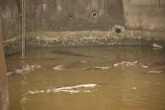 Submerged Hippos (syntart) Tags: zoo hippo taipeizoo