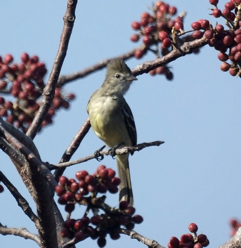 GYellow-bellied Elaenia