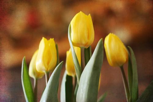 tulip tex 3