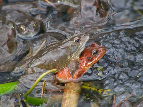 Red Common Frog Seen In Scotland Recently