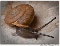 Snail-1 (kirwinj) Tags: animals snail images soe supershot beautifulphoto anawesomeshot nikond90 theunforgettablepictures goldstaraward rubyphotographer bestofmywinners