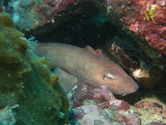 A Tawny Nurse Shark, Perhentian's perennial favourite