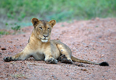 Lioness South Luangwa