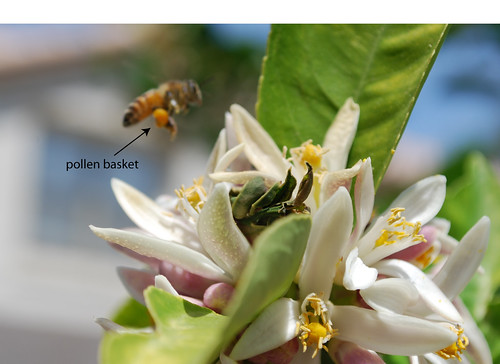 pollenbasket