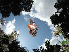 Parantica sita in flight (Mushimizu) Tags: butterfly  paranticasita