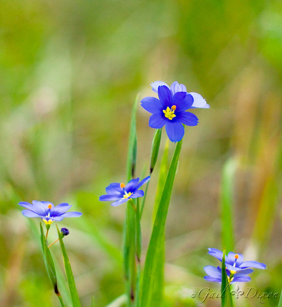 105/365: Blue-Eyed Grass