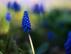 Stand Out (Nanagyei) Tags: blue flower green colors 50mm dof sony a100 flowery grapehyacinths