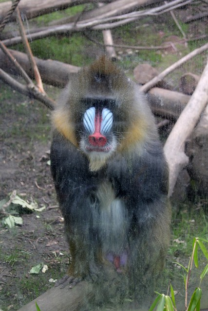 Mandrill, Oregon Zoo