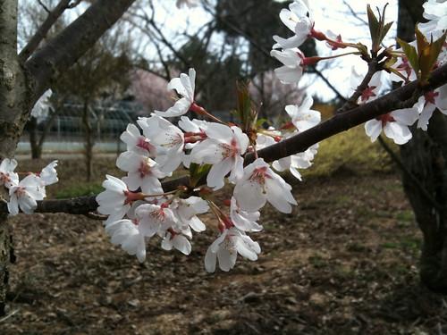 山桜、息子9歳の作品