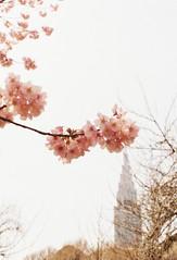 新宿のサクラ (Satomi*k) Tags: pink flower tokyo olympuspen penf solaris100