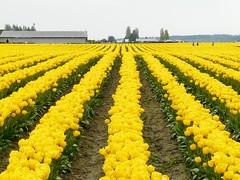 Yellow Rows (sea turtle) Tags: flowers flower field lines yellow tulips rows tulip skagit tulipfield skagitvalley skagitvalleytulipfestival skagitcounty tulipfields