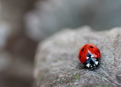 What are you looking at? (Just Emi) Tags: red nature leaves grey leaf pattern dof bokeh beetle explore negativespace spots ladybird ladybug frontpage naturalselectivecolour