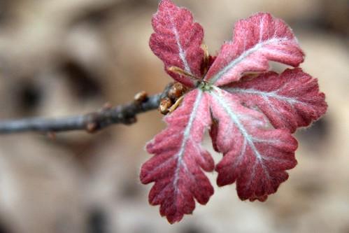 baby oak leaves 2