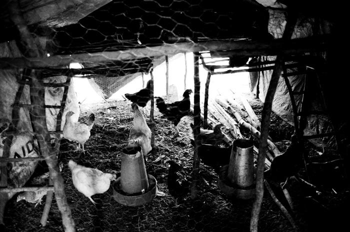 Image of Chickens in Kenya
