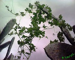 Opuntia ficus indica (Jamal Elkhalladi) Tags: cactus nature morocco maroc milli  hassi   berkane   triffa