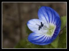 VERONICA PERSICA (stavlokratz) Tags: madrid espaa flower fleur flor fiore veronicapersica vernica boadilladelmonte