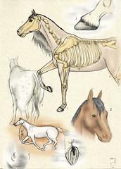 Sketches-cor (Anna Luiza Aragão) Tags: horses horse digitalpainting draw cavalo desenho drawning pencildrawning anatomiacavalo