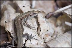 Common Lizard, Forest of Dean (Ben Locke.) Tags: wild macro forest spring reptile wildlife lizard scales forestofdean commonlizard