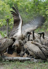 Whitebacked Vultures, Chobe National Park Botswana