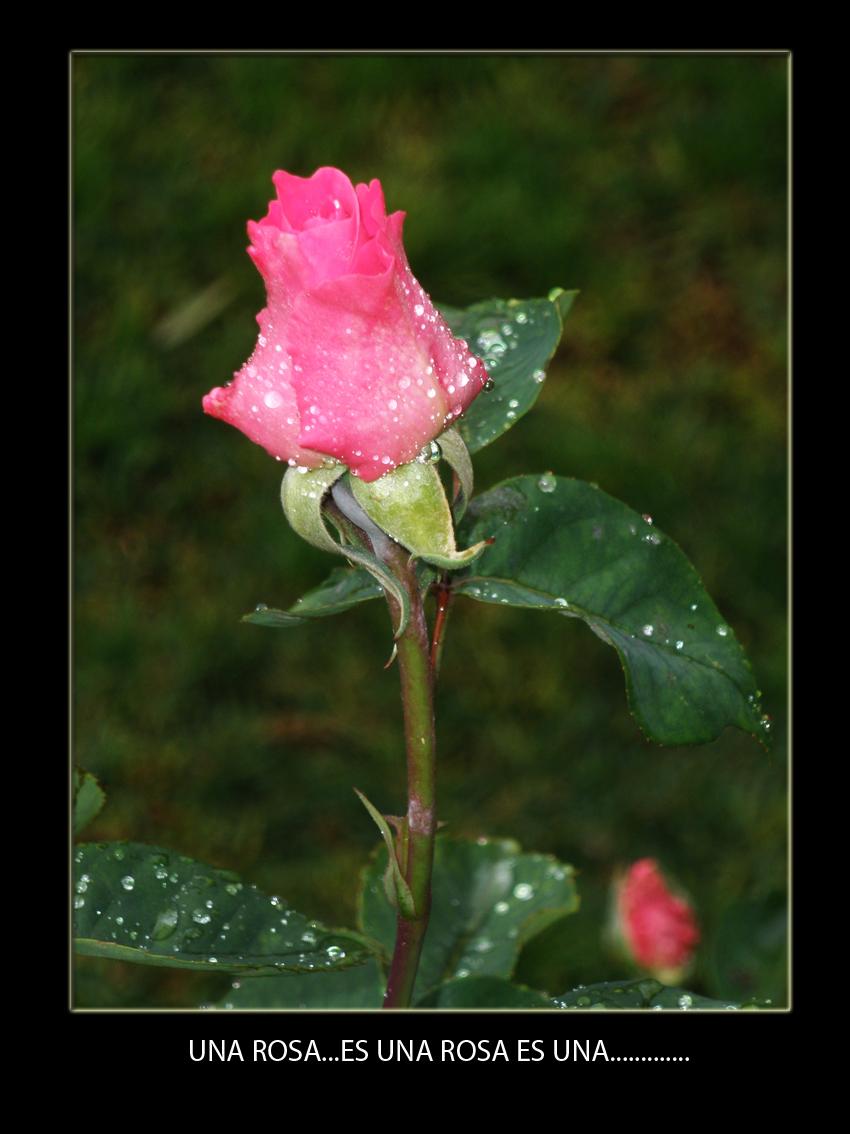 Rosa tras la lluvia...