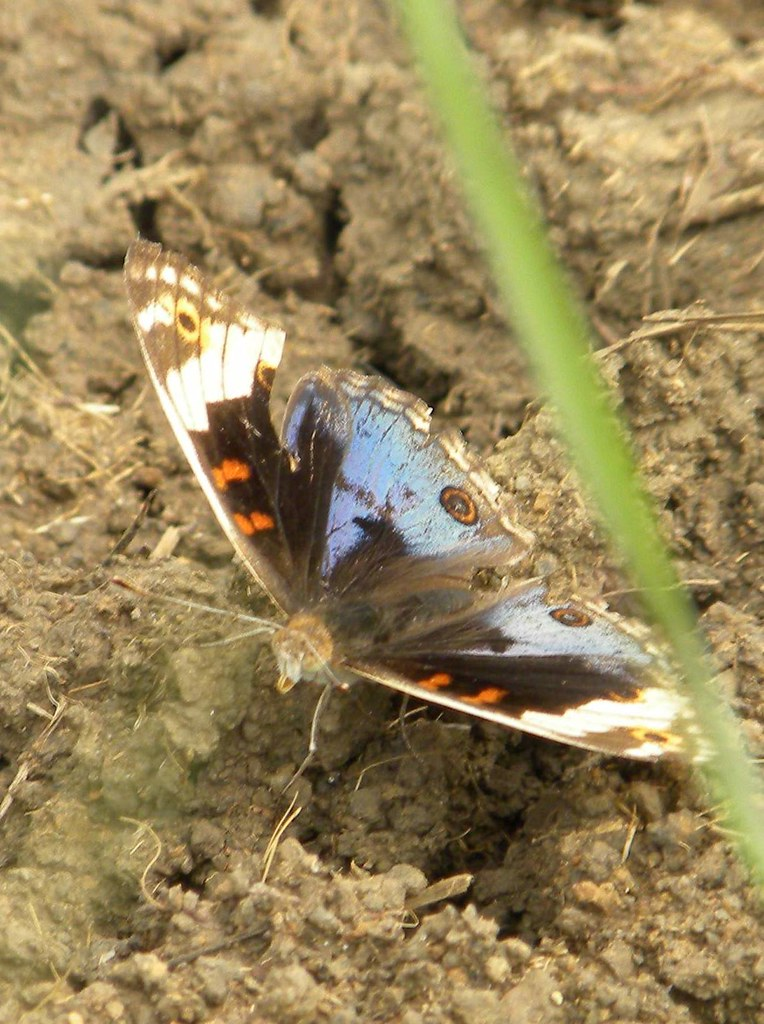 常見的鱗翅目,(右)蛾類約巴掌大,(左)色彩炫麗非常少見。