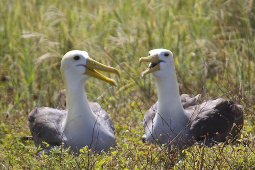 Galapagos or Waved Albatross (Phoebastria irrorata) Pair