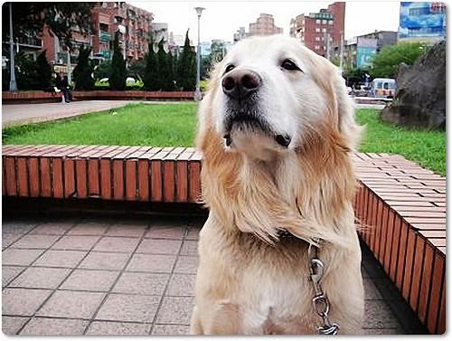 「需要支援」淡水往紅樹林的路上撿到有惡性腫瘤的黃金獵犬大頭弟弟,懇請贊助醫療資源,也徵中途或是認養喔~隨手幫忙轉PO也是很需要~謝謝您!20100507