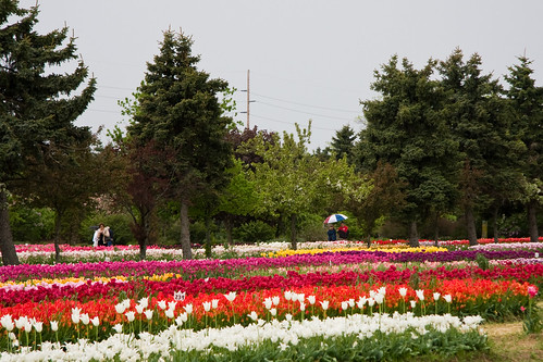 Veldheer's Tulip Farm. Holland Michigan-57