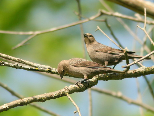 Female Cowbirds 20100504