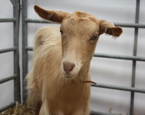 Golden Guernsey goat kid 1