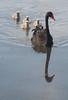 20100517_6836 line astern (williewonker) Tags: black reflection birds swan cygnet australia victoria wetlands cygnusatratus wyndham pointcook cheetham
