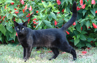 Black cat who is part of the TNR program in Mayport, Florida