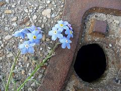 Vergissmeinnicht (judith74) Tags: flowers pflanzen blumen forgetmenot vergissmeinnicht myosotis