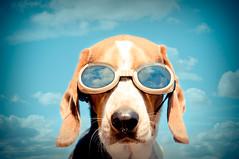 Floyd through Anna's Eyes (Paguma / Darren) Tags: dog clouds goggles hound floyd doggles tamronspaf1750mmf28xrdiiildasphericalif annagay