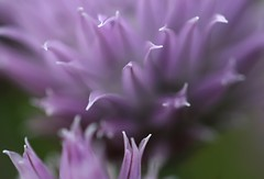 chives-tips