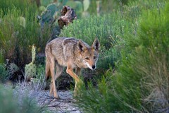 IMG_7769-2 Coyote (lois manowitz) Tags: coyote arizona animals tucson wildlife