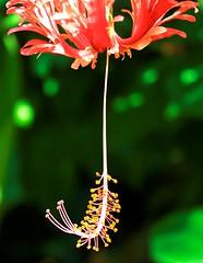 Hibiscus (Gajni2) Tags: flower color macro green nature bokeh hibiscus cropped colorphotoaward flickraward flickraward beyondbokeh