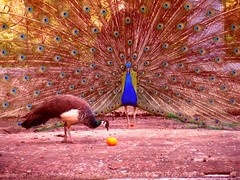 Dimorfismo sexual (zycalo) Tags: bird colores ave macho naranja pavoreal hembra cortejo dimorfismo sexualseduction dimorfismosexual diformismo