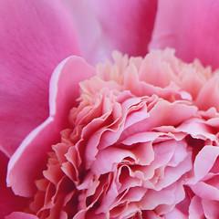 pink peony (Shandi-lee) Tags: pink summer flower petals spring soft peach peony pinkflower softpink macroflower