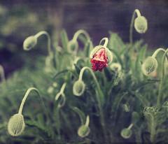 {the youth of eternal summers} (Doreen Kilfeather) Tags: summer nature garden textures poppy vanmorrison nogurunomethodnoteacher