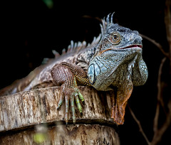 DRAGON (photojordi) Tags: canon eos dragon mark 1d iguana iv mk4 specanimal photojordicom photojordi peregrino27life