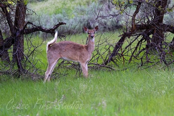05-29-deer2