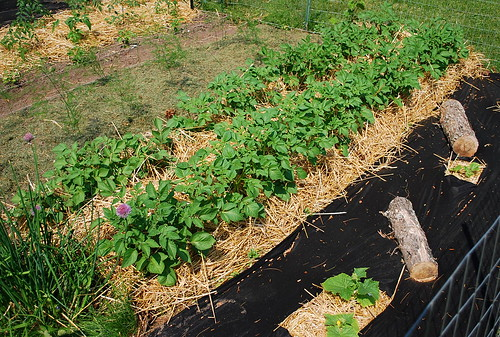 potatoes hilled with straw
