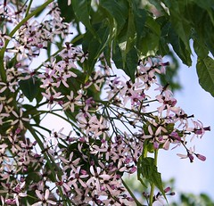 May time, blossom time. !!!!!!!!!!!!!!!!! (Juniebabie) Tags: sky brown black tree green leaves gardens hospital scenery blossom branches clusters lilac stems mauve twigs florets overhaning