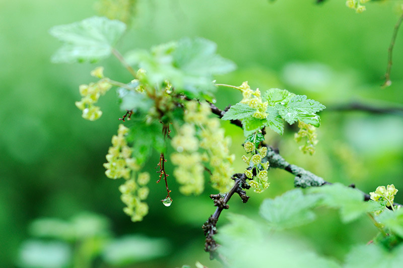 Red currant blossoms on a rainy day