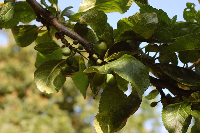 Green plums, ripening on a branch