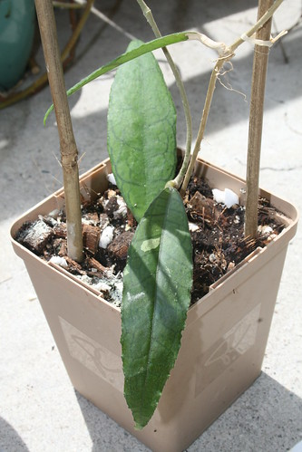 Hoya finlaysonii new leaf