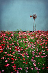 Windmill & Poppies (Jeremy Stockwell) Tags: pink flowers red white flower windmill nikon many indiana poppy poppies roadside lots thousands standout hundreds 236 d90 putnamcounty screamingtrees jeremystockwellpix twtmeiconoftheday nikond90 pinksherbet roachdale skeletalmess skeletalmesstextures pinksherbettextures roachdaleindiana windsweptstables darkvintagepaper